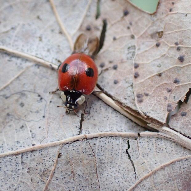 2-spot Ladybird - Graeme Lyons