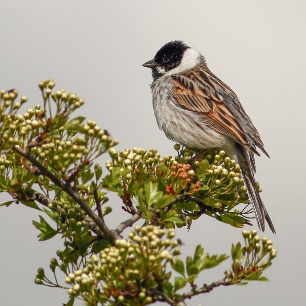 Reed Bunting on tree